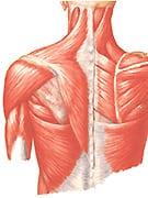 indholdsbillede_RAB-Massageterapeut-Zone_Anatomi_135x180