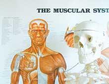 Anatomi Massøruddannelse